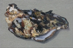 Auster 17, Öl auf Leinwand, 80 x 120 cm, 2015